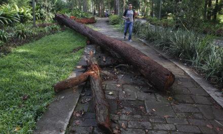Reportan rama derribado a un costado de la Facultad de Ciencia Agrícolas