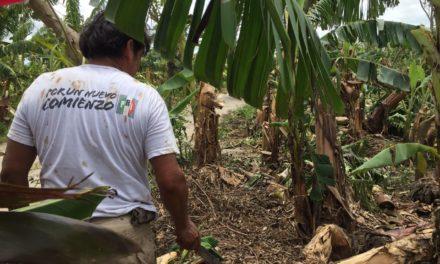 En San Rafael se perdió un mundo de dinero para productores de plátano