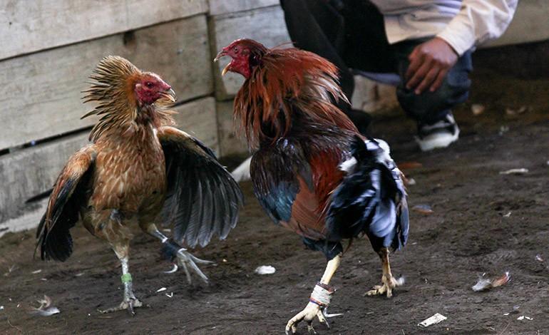 Organizaciones realizarán una megamarcha en favor de la tauromaquia y peleas de gallos