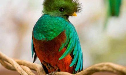 El Quetzal, simbolismo prehispánico, en peligro de extinción