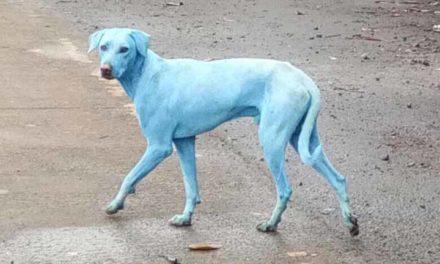 Perros azules se pasean por la India debido a río contaminado