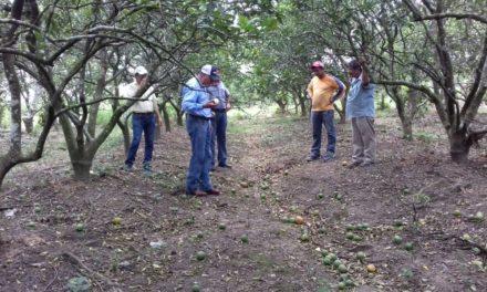 Recorre Agroasemex cultivos de Martínez de la Torre para la evaluación de daños por Franklin