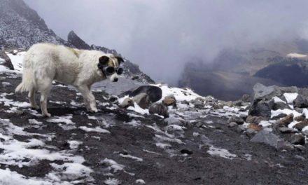 Hospitalizan a Citla, el perro guardián del Pico de Orizaba