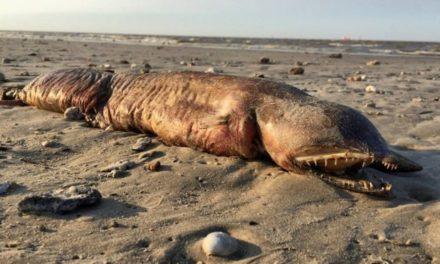 Encuentran extraño animal en una playa de Texas tras el paso del huracán Harvey
