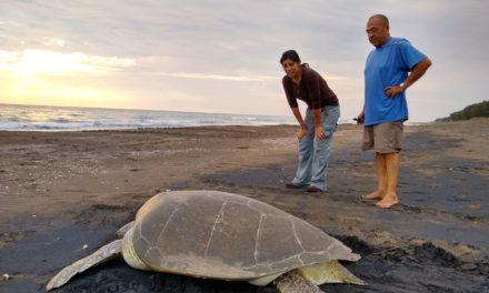 Durante 2019 liberó SEDEMA 650 mil crías de tortugas en playas de Veracruz