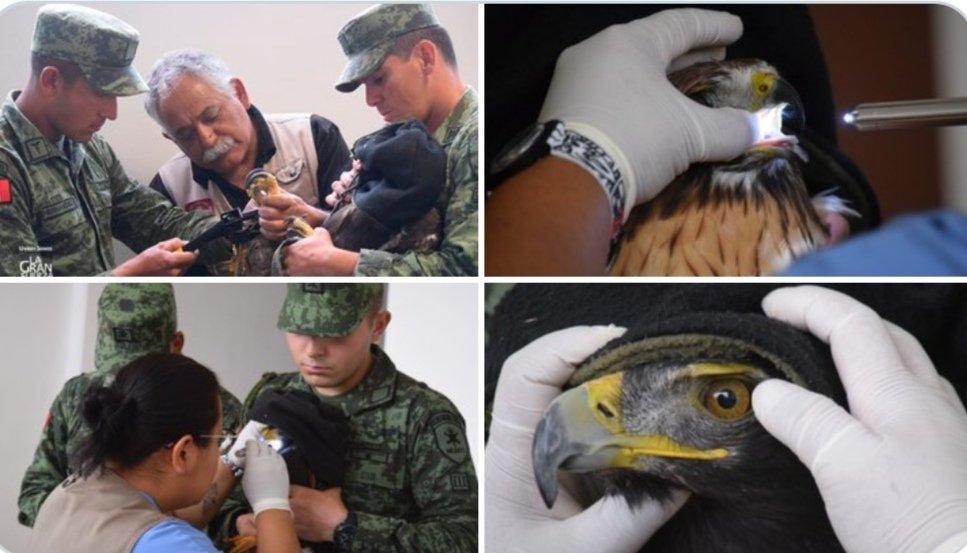 Reinsertan a 11 aguilillas y un águila real a su vida natural en Coahuila