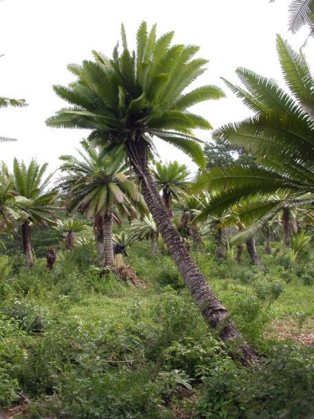 Fig. 2.- Tiusinte en Honduras (Dioon mejiae). Foto M. Calonje