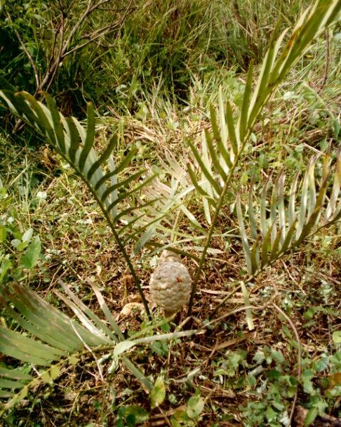 Fig. 4.- Amigo del maíz (Zamia loddigesii) Foto A.V.