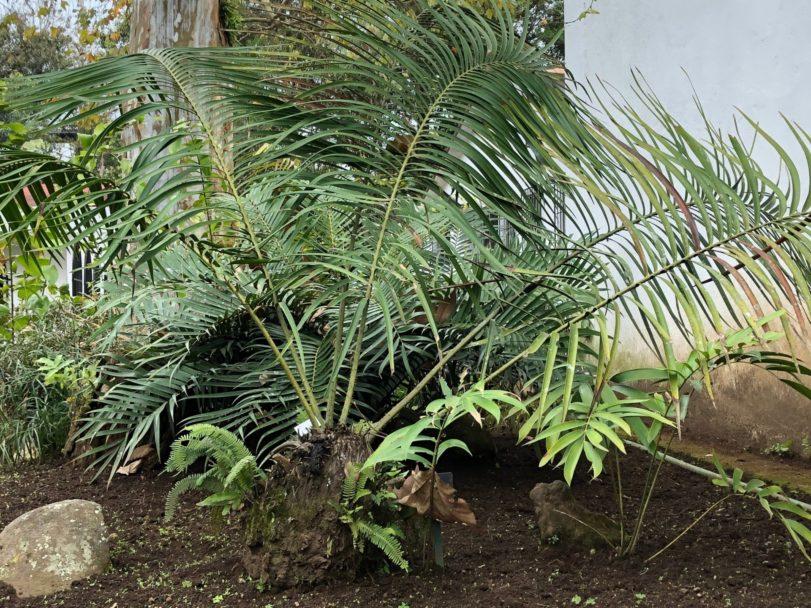 Fig. 1.- Ceratozamia tenuis, Foto: Sonia Galicia