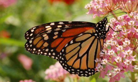 Se reduce en más del 50 por ciento ocupación de la mariposa Monarca