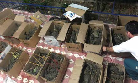 Liberan 130 iguanas verdes en Oaxaca, las escondían en cajas