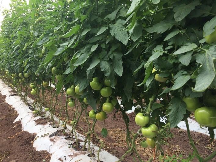 Figura 4. Cultivo de tomate. Foto: Gloria Carrión