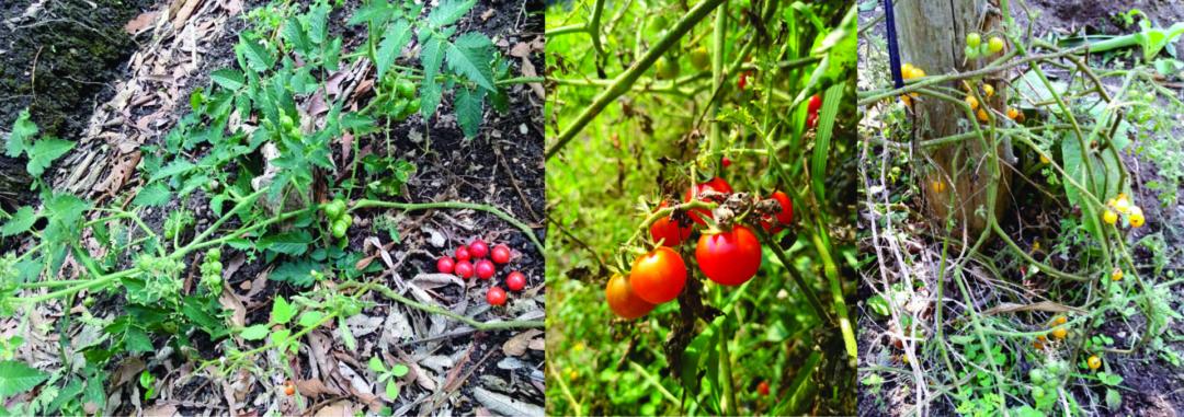 Figura 1.- Plantas de jitomate silvestre con frutos rojos y amarillos provenientes de Coatepec, Veracruz.