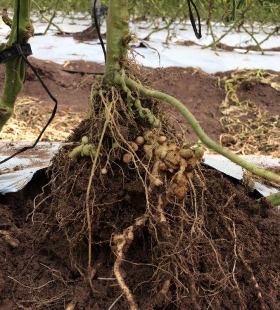 Figura 1. Planta dañada de las raíces por el nematodo Meloidogyne enterolobii. Foto: Gloria Carrión