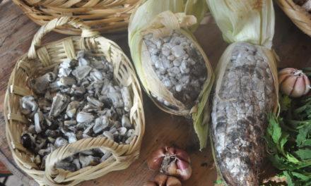 """México, pueblo que come hongos. II. El """"Cuitlacoche"""", delicia de la cocina nacional"""