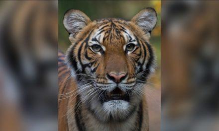 Tigre del zoológico en Nueva York da positivo a Covid-19