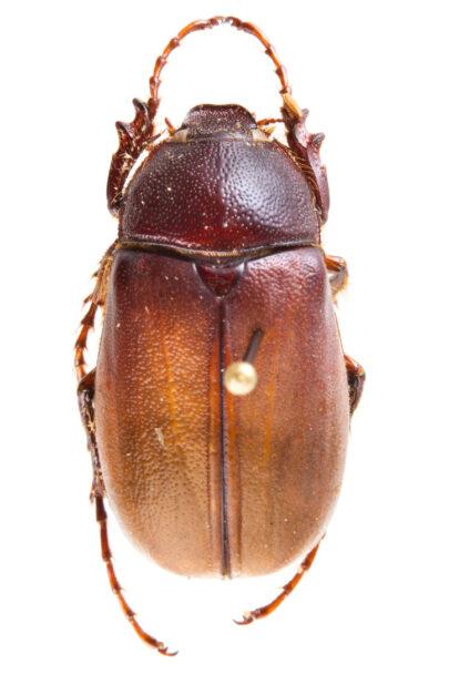 Figura 1. Phyllophaga sp., escarabajo típico atraído a las luces (Foto: Cuauhtémoc Deloya).