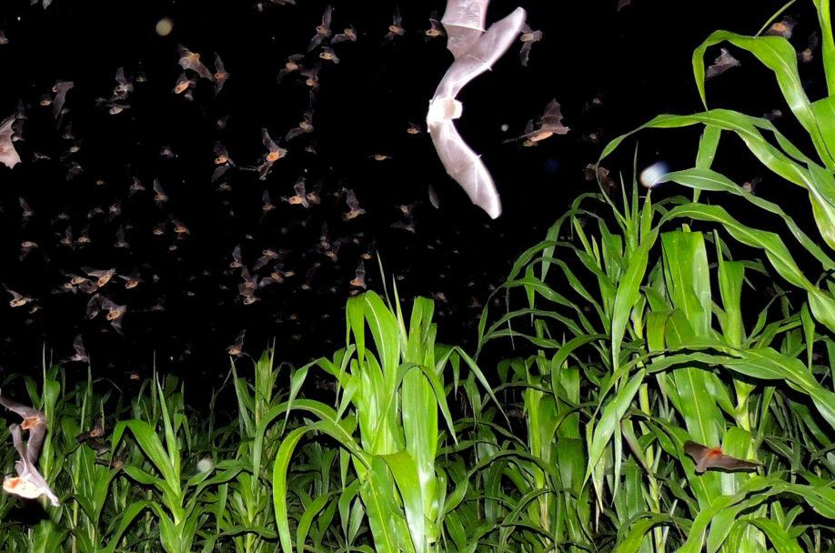 Figura 2. Los murciélagos emergen de sus refugios al anochecer, para desplazarse a las áreas de alimentación, donde realizan diversos servicios ambientales. Murciélagos capturando insectos sobre un cultivo de milpa. Foto: Antonio Guillen Servent