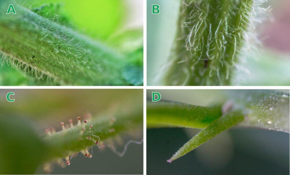 Figura 1. Defensas estructurales en plantas. Estas estructuras funcionan como una primer línea de defensa contra depredadores u organismos patógenos. (A) y (B) Tricomas; (C) y (D) Espinas. (autor: Michel Pale).