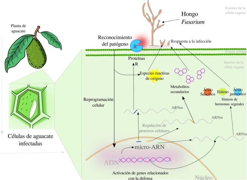Figura 3. Mecanismos de defensa orquestados por micro-ARN en plantas de aguacate infectadas por el hongo ascomiceto Fusarium solani. La planta es capaz de reconocer al patógeno gracias a proteínas específicas que se encuentran en su membrana celular. Una vez reconocido, se generan señales que se translocan al núcleo de la célula permitiendo la activación de genes relacionados con la defensa. Al mismo tiempo, micro-ARNs que tienen la capacidad de regular la expresión de algunos de dichos genes, son también sintetizados (ejemplificado con colores). En esta regulación se ven involucrados diversos procesos que le sirven a la planta para defenderse, p.ej: síntesis de hormonas vegetales, regulación de proteínas R, o la síntesis de metabolitos secundarios (autor:Michel Pale).