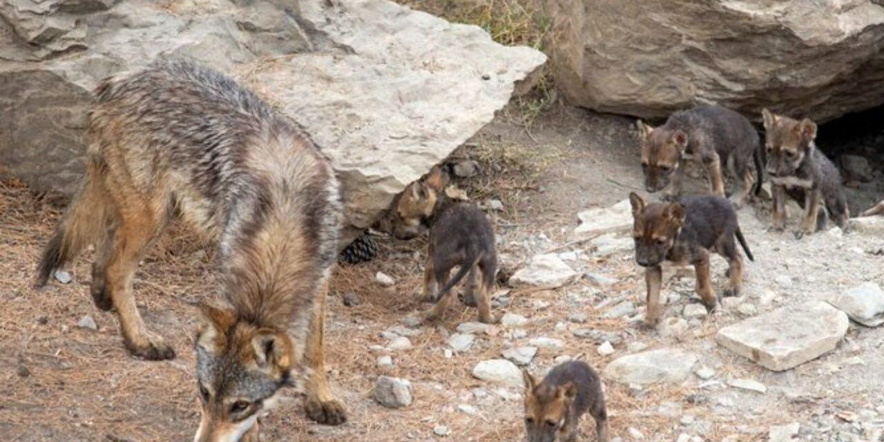 Video: Ocho ejemplares de lobo gris mexicano nacieron en el Museo del Desierto, uno de los lugares en donde se busca preservar a esta especie endémica declarada en peligro de extinción.