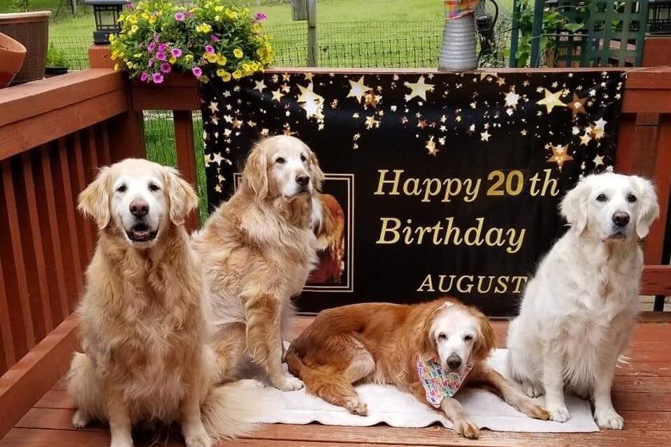 August, el perro golden retriever más longevo de la historia: tiene 20 años