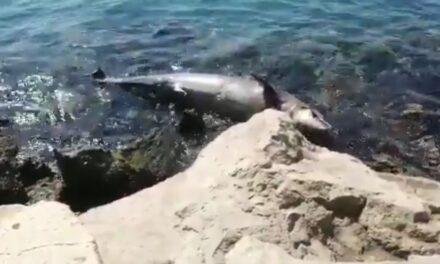 """Encuentran delfín muerto en las escolleras de la playa """"Regatas"""", del municipio de Veracruz"""