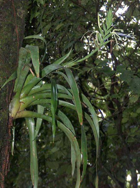 Tillandsia viridiflora con quiropterofilia
