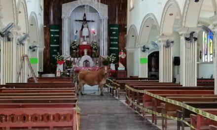 """Vaca huye del rastro para ingresar al templo """"Señor de la Misericordia"""" en Veracruz"""