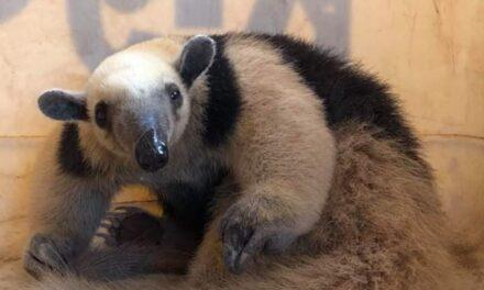 Video:Encuentran oso hormiguero en la ciudad de Colima