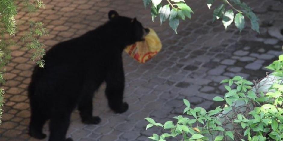 """Oso """"recoge"""" orden de Pollo Loco en Monterrey y se vuelve viral"""