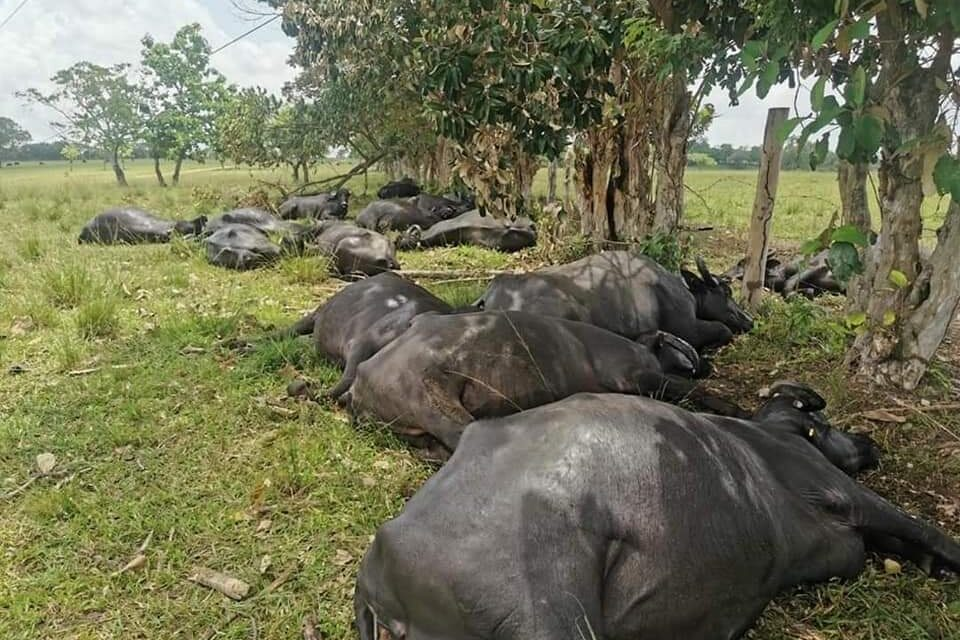 Un corto circuito mató 20 búfalos en Las Choapas