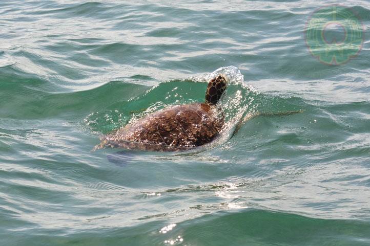 La tortuga verde es una de las más abundantes en la costa central de Veracruz