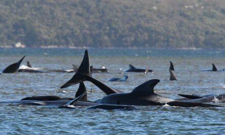 Autoridades de Australia confirmaron que al menos 25 ballenas murieron y más de 250 están varadas en una remota bahía de la isla de Tasmania, en el sur del país