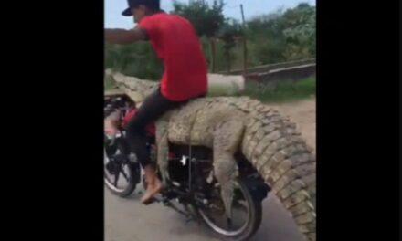 Video: Jóvenes roban cocodrilo en Sinaloa y se lo llevan en una motocicleta