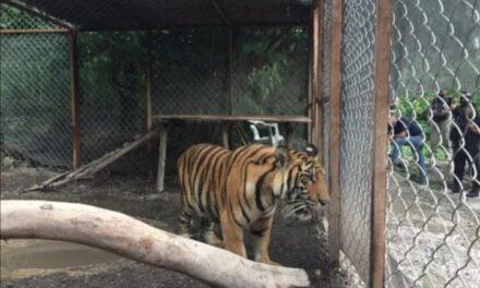 Aseguraron un tigre de Bengala, una lagarto, armas y drogas en una casa de Guerrero