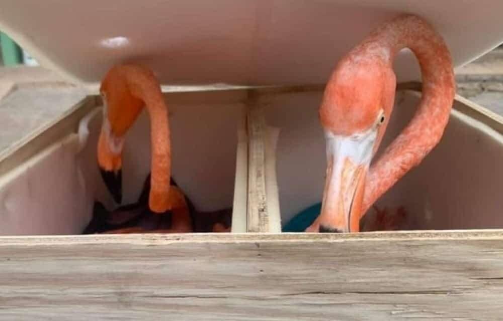 Aseguran 6 ejemplares de flamenco rosados; los iban a traficar