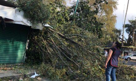 Precaución caída de Árbol en la zona de Los Sauces en Xalapa