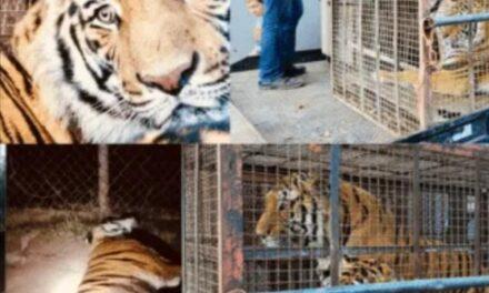 Rescata Zoo de Culiacán dos tigres y una leona en Sonora