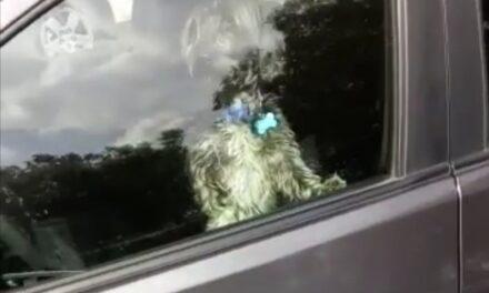 Dejan encerrado perro dentro de automóvil mientras realizan compras en Soriana de Xalapa