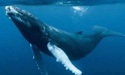 Como cada año regresa a México la ballena azul, la especie más grande del planeta