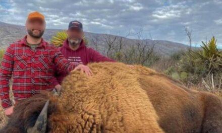 Cazar 'legalmente' a un bisonte cuesta $153 mil en Coahuila 😠