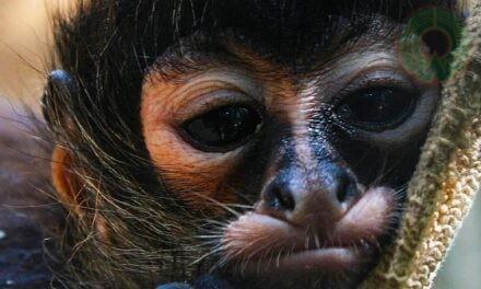 AKUMAL MONKEY SANCTUARY & RESCUED ANIMALS Y EL INECOL: UNA ALIANZA EN FAVOR DE LA CONSERVACIÓN DE LOS PRIMATES