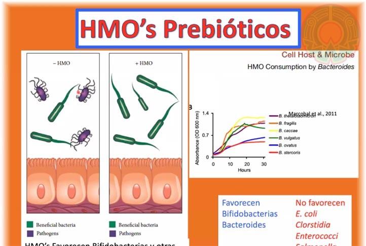 El investigador explicó que la leche materna está compuesta de muchos componentes benéficos, entre ellos bacterias y HMO