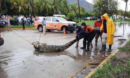 Aparece cocodrilo gigante en zona turística de Acapulco.
