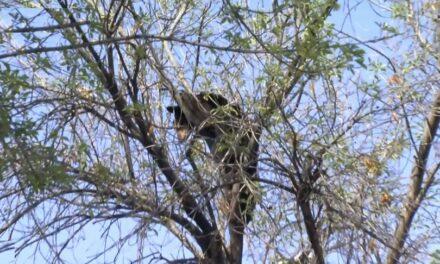 Encuentran a un oso en un árbol en la Facultad de Economía de la UANL