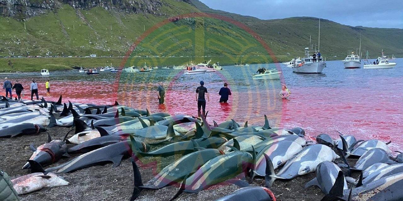 Islas Feroe defiende su tradición de cazar delfines; mataron más de 1.400 en un solo día